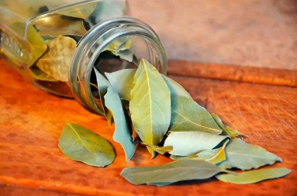 Как разводить лавровый лист